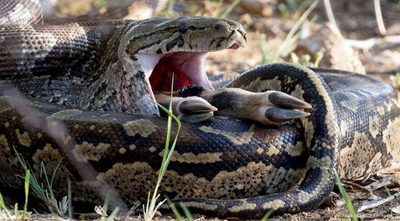 蟒蛇吞食黑斑羚画面