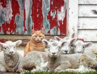 羊羔房过夜之后 喵星人活成了一只羊