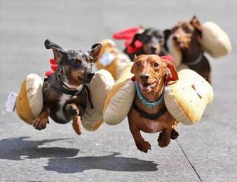 这腊肠犬只想比赛 却被网友们玩坏了