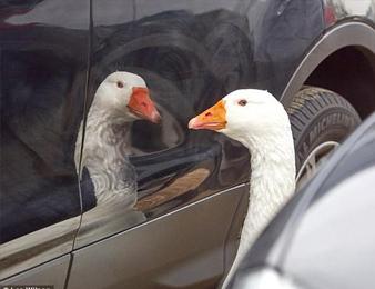 失去同伴的大白鹅 这一幕让人太心酸